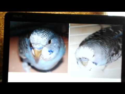Как определить пол волнистого попугая!