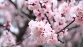 매화 (Plum Blossom)