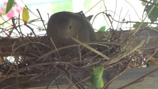 Mourning Doves Nesting On My Patio: 2 Eggs Incubating Day 11_4/20/2014