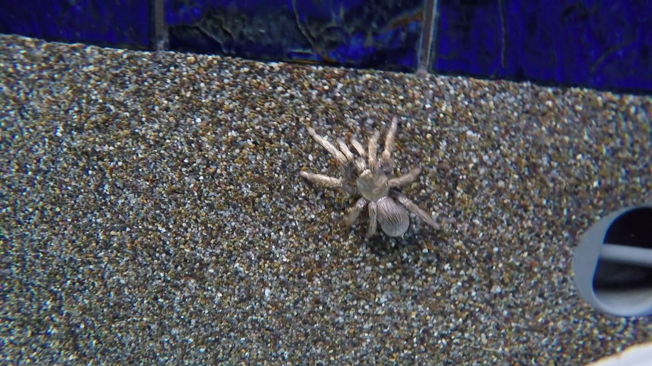 Can Tarantulas Swim These Videos Can Prove It