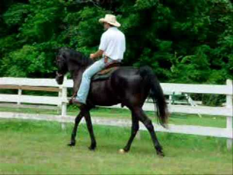 BIG Stout-Built Bombproof Tennessee Walker Trail Horse For Sale.wmv