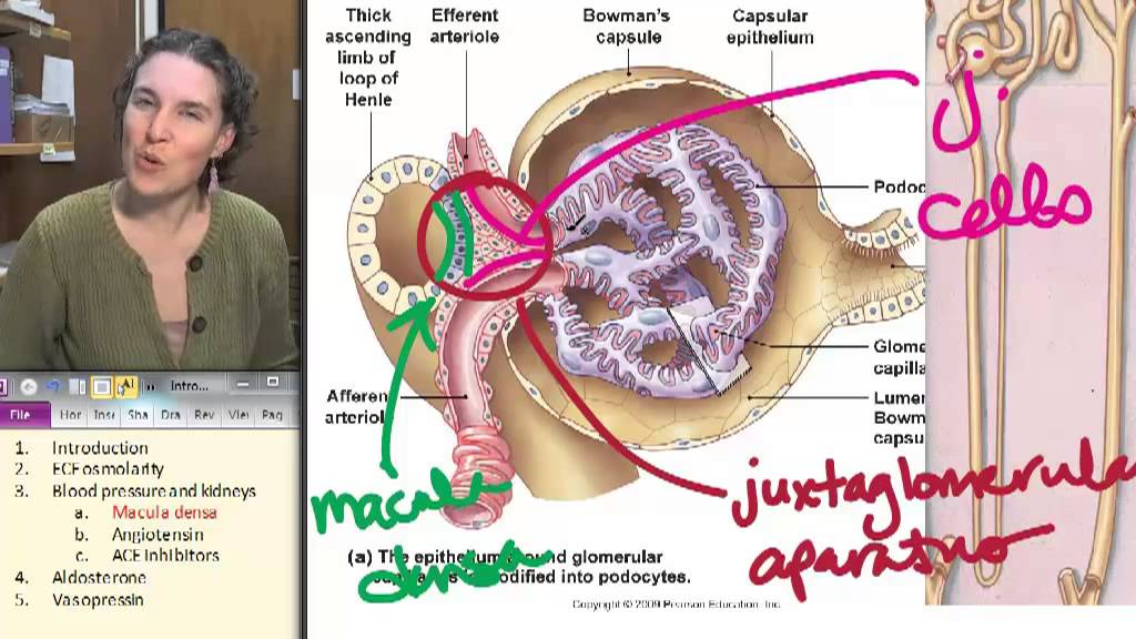 Supportive Structures of the Nephron: Functions and Definitions ...