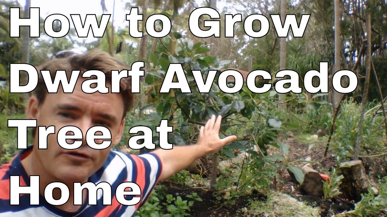 How to Grow A Dwarf Avocado Tree at Home