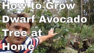 How to Grow A Dwarf Avocado Tree at Home