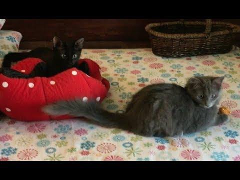 Tiny Kitten Hisses At Big Cat - Meeting Genji - Feral Kitten and Cat Socialization