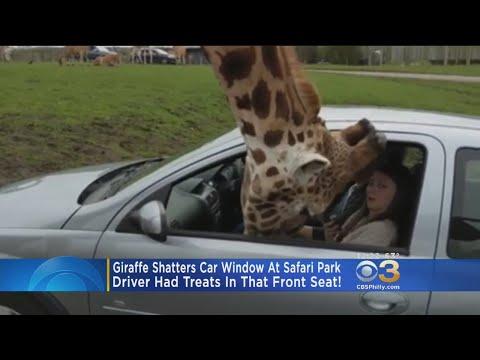 Giraffe Shatters Car Window At Safari Park