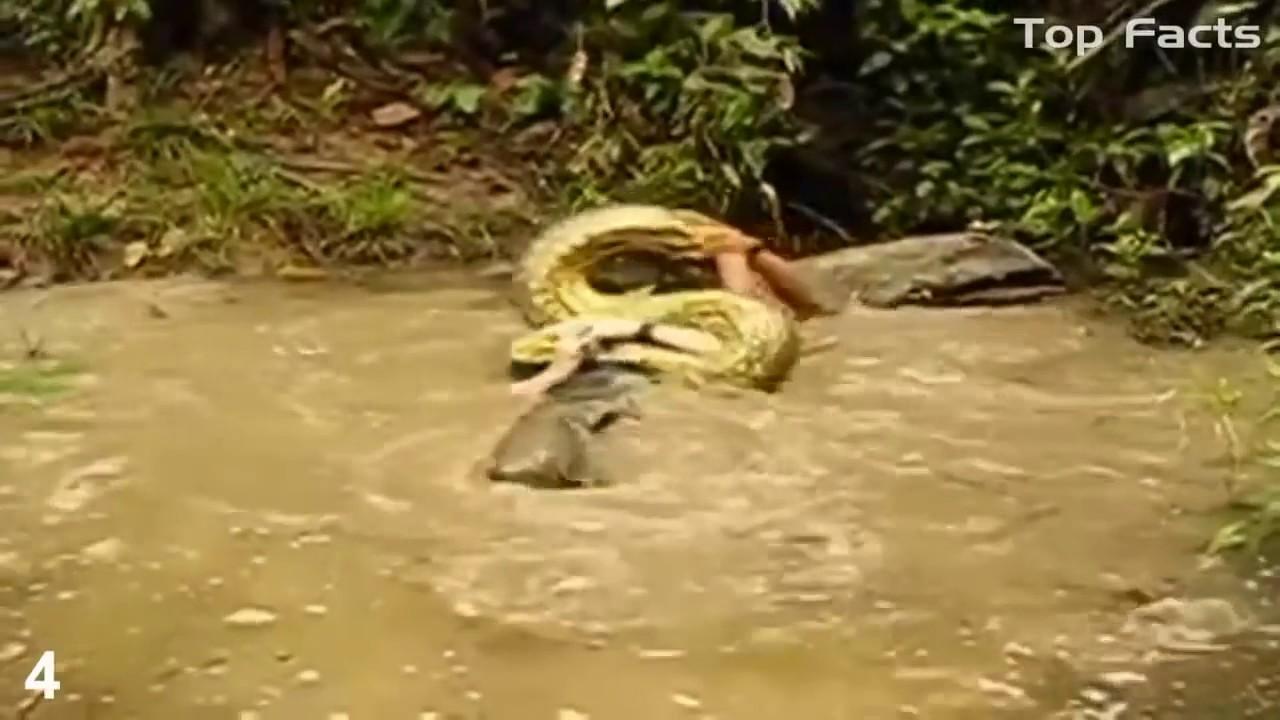 фото анаконды которая кушает людей