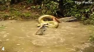 Гигантская змея   анаконда Ест человека живьем