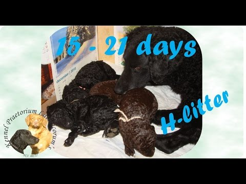 Curly coated retriever puppies 15 - 21 days old