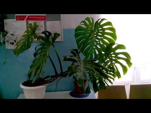 КОМНАТНАЯ МОНСТЕРА - не прихотливая вечнозеленая лиана с крупными резными листьями