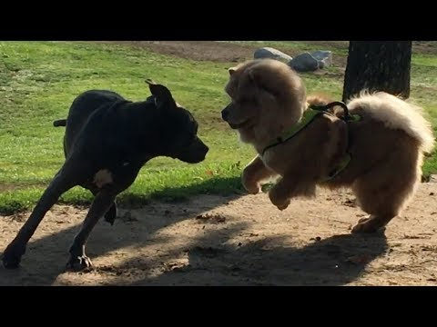 Husky Starts Trouble Between Chow Chow & Cane Corso/Pit