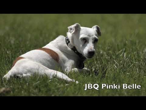 2020 JRTCA Jack Russell Terriers Rainbow Bridge