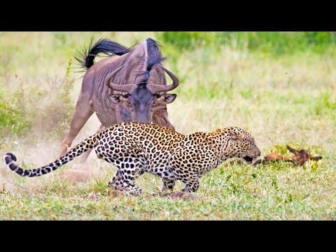 Wildebeest Tries Saving her Injured Calf From Leopard & Warthogs