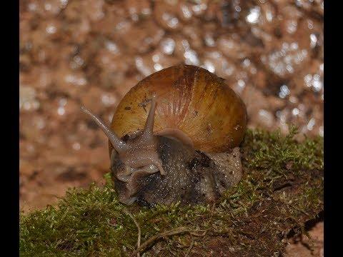 Haltungstipps für Achatina fulica var. hamillei f. rodatzii