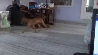 Crazy Boxer Teases Calm Golden Retriever