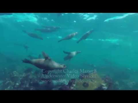 Towcam of makos, white sharks, seals and dolphins filmed by Charles Maxwell 2014