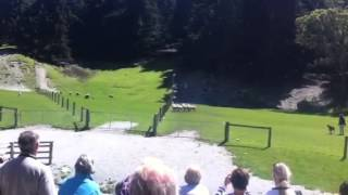 Sheep dogs herding -- Queenstown , Walter Peak Farm