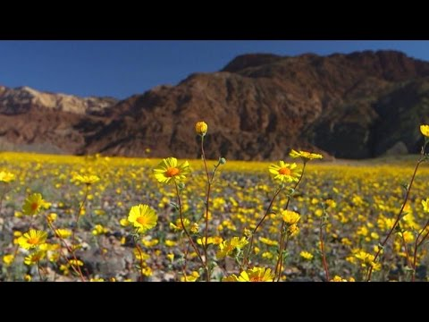Nature: Death Valley flowers