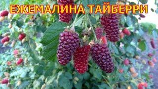 Ежемалина Тайбери. Tayberry.(Выращивание ежемалины сорта Тайбери (Tayberry) не составляет особых трудностей. Кусты ежемалины Тайбери красив..., 2015-06-23T02:41:18.000Z)