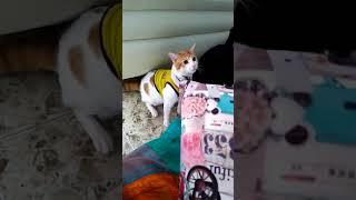 Колумбийская кошка кричит