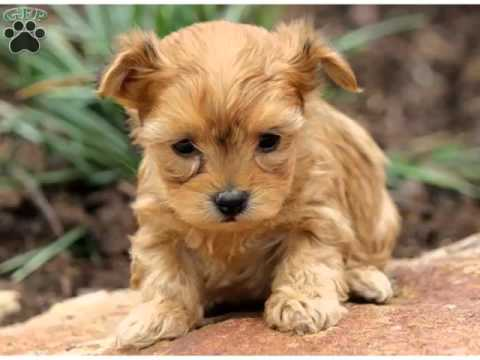Yorkie Poo Puppies Cute Dogs And Puppies Picture Collection Youtube