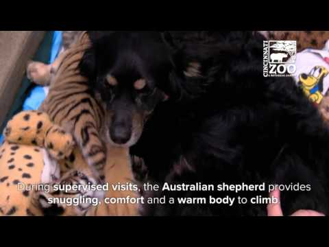 Australian Shepherd Filling in as Parent to One-Month-Old Tiger Cubs - Cincinnati Zoo