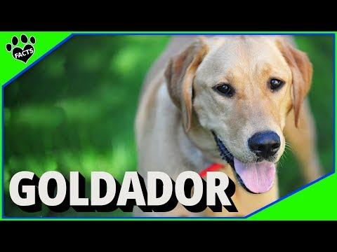 Goldador - Golden Retriever Labrador Retriever Mix - Designer Dogs 101