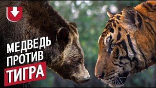 Загнанный медведь дал отпор тигру: впечатляющие кадры из Индии