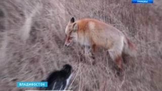 Во Владивостоке лисы пыталась завести дружбу с котом