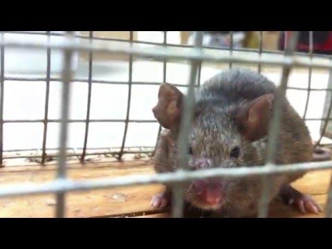 Мышь или Крыса?