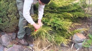 Tip Pruning a Juniper