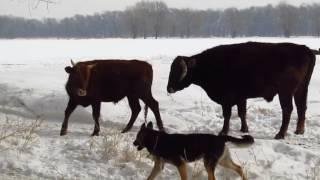 Бой быков!!Коровы, собаки, разминка утренняя, зима, ферма!