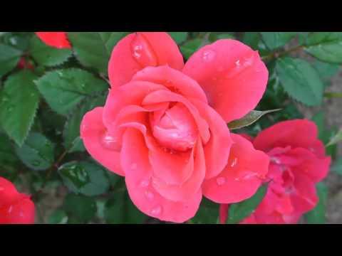 Free footage #background #YouTube #natur Stock #video - Beautiful Rosen