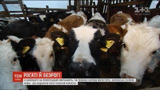 Чи потрібні коровам роги: думки українських селян