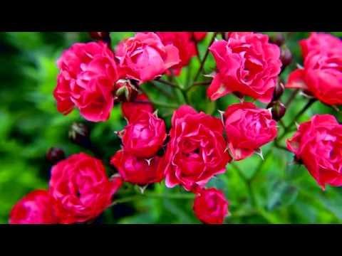 Выращивание домашних роз своими руками, особенности ухода