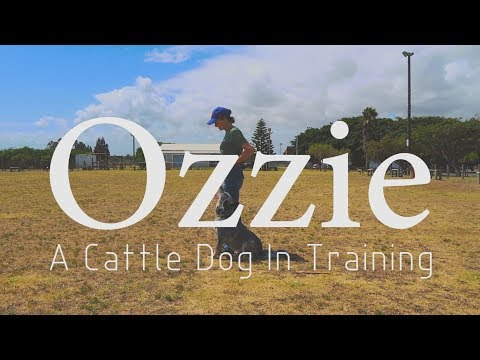 Ozzie - A Cattle Dog In Training (Australian Cattle Dog - Blue Heeler)