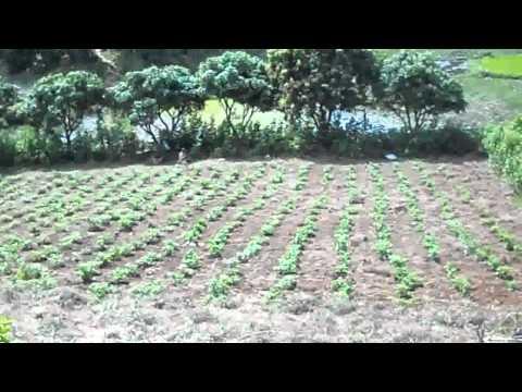 plantation Naz 2 (piment)