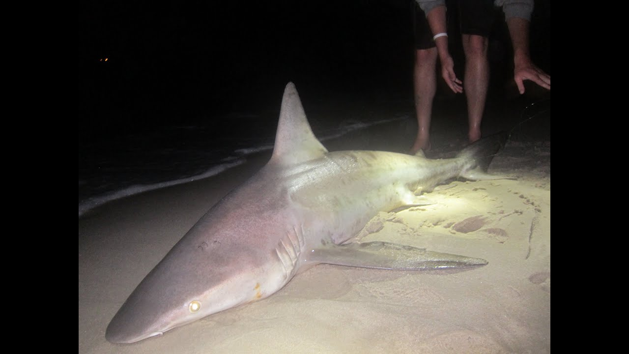 Shark fishing the beach surf in sea isle new jersey 7 14 for Nj surf fishing reports