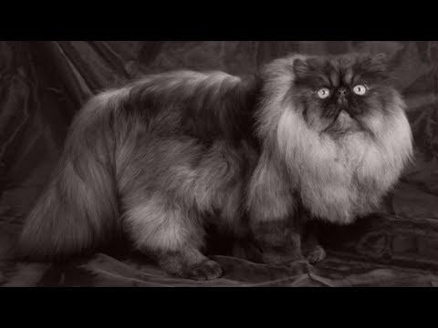 8 MOST RARE CAT BREEDS