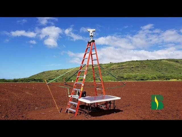 Bird Laser Repels Pigeons on Corn Seedlings