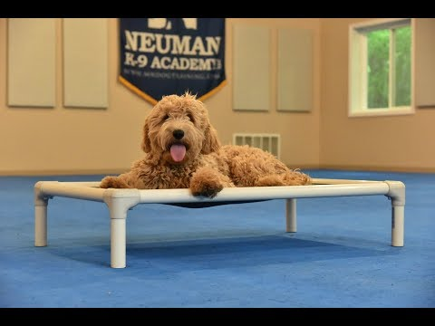 Stella (Englishdoodle) Boot Camp Dog Training Video Demonstration