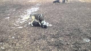 Husky X Rottweiler Vs. Random Husky
