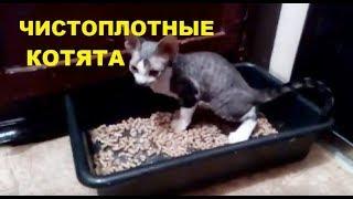 ✅ Чистоплотные котята девон-рекс