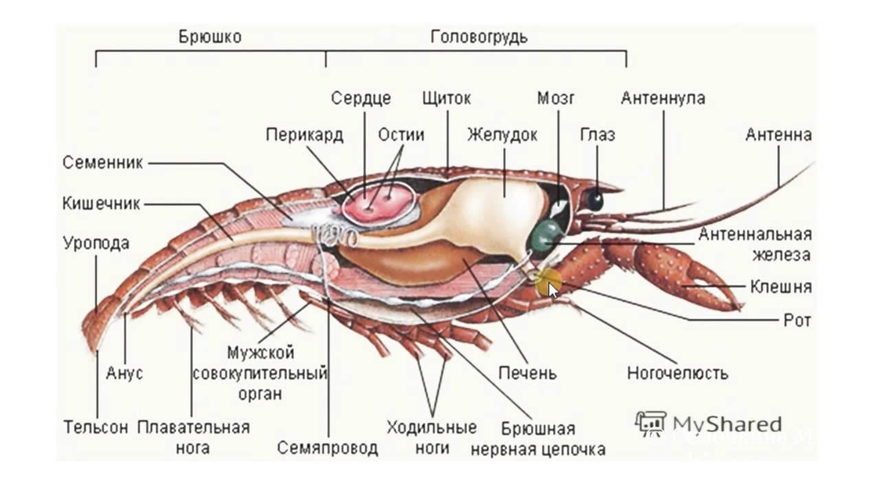 инфекционное строение креветок с картинками предложения