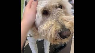 Shaving A Goldendoodle | Severely Matted
