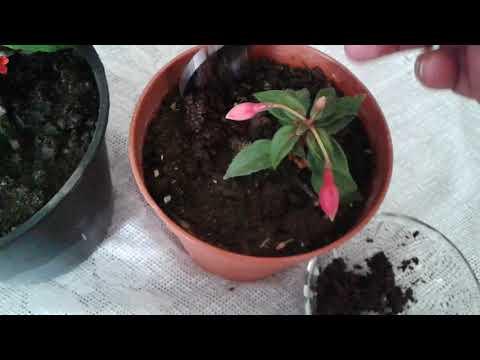 Küpeli Çiçeği Yetiştiriçiliği Hopi Garden