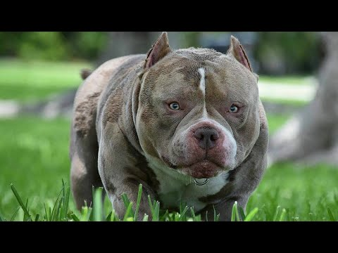 [NEW VIDEO] Louis V Line's Venom | Best Pocket American Bullies | The Home of Venomline