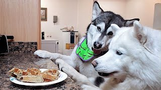 I Set My Malamute & Husky Up! What Will They Do?