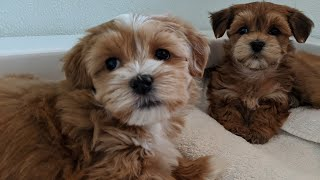 Adorable AKC Red Havanese Puppies | California Havanese