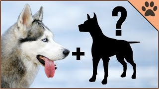 9 Husky Mix Breeds | Siberian Husky Cross Breeds